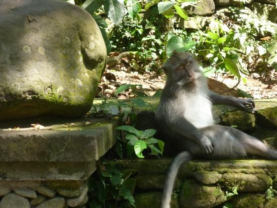 A sleeping monkey grand-dad in Monkey Forest, Ubud