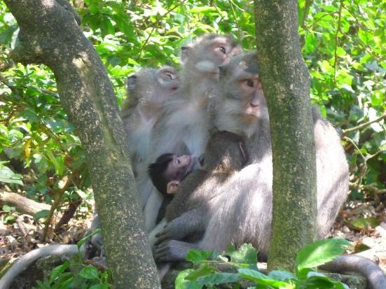 Nice big monkey family in Monkey Forest, Ubud, Bali