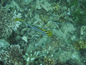 Bright yellow fish on seabed in Gili Air, Lombok, Indonesia