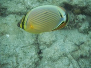 Beautiful yellow fish, Gili Air, Lombok, Indonesia
