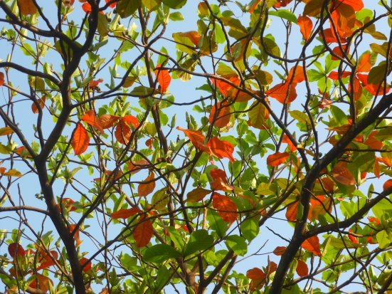 Gorgeous green and orange leaves on tree in Vientiane, Laos