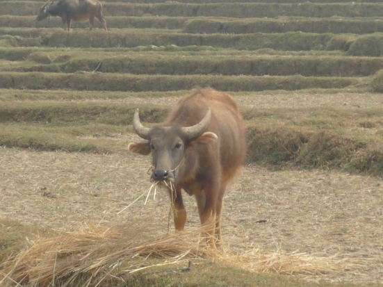 Burmese buffalo from our 3 day trek from Kalaw to Inle Lake in Myanmar (Burma)